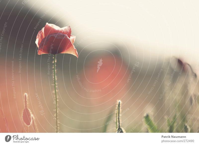 Papaver rhoeas Umwelt Natur Pflanze Tier Sonne Sommer Blume Gras Blüte Mohnblüte Klatschmohn Feld Blühend glänzend leuchten verblüht dehydrieren Freundlichkeit