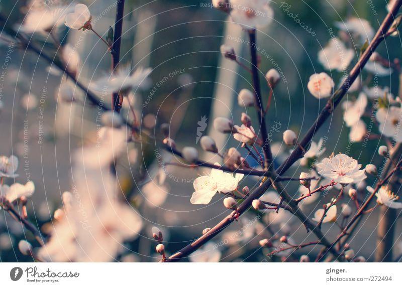 Frühlingszauber Umwelt Natur Pflanze Baum Blüte Nutzpflanze Wachstum Blütenknospen Blütenblatt viele durcheinander Blühend Filter Farbfoto Gedeckte Farben