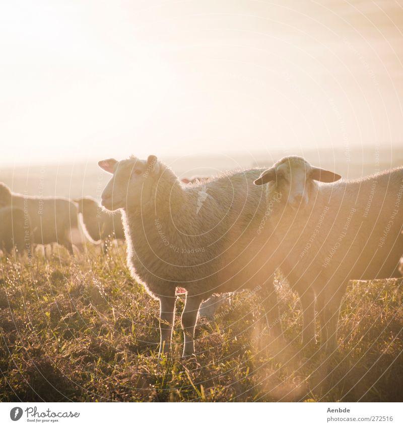 Schafe im Licht Natur Tier Nutztier Herde Freundlichkeit Sonnenlicht Wärme Wiese Farbfoto Außenaufnahme Abend