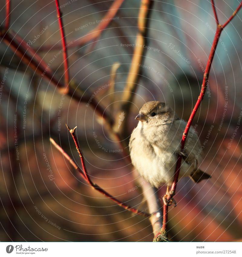 Rund wie en Spatz Natur Tier Frühling klein Vogel braun Wildtier sitzen natürlich warten Feder niedlich rund weich Ast Jahreszeiten