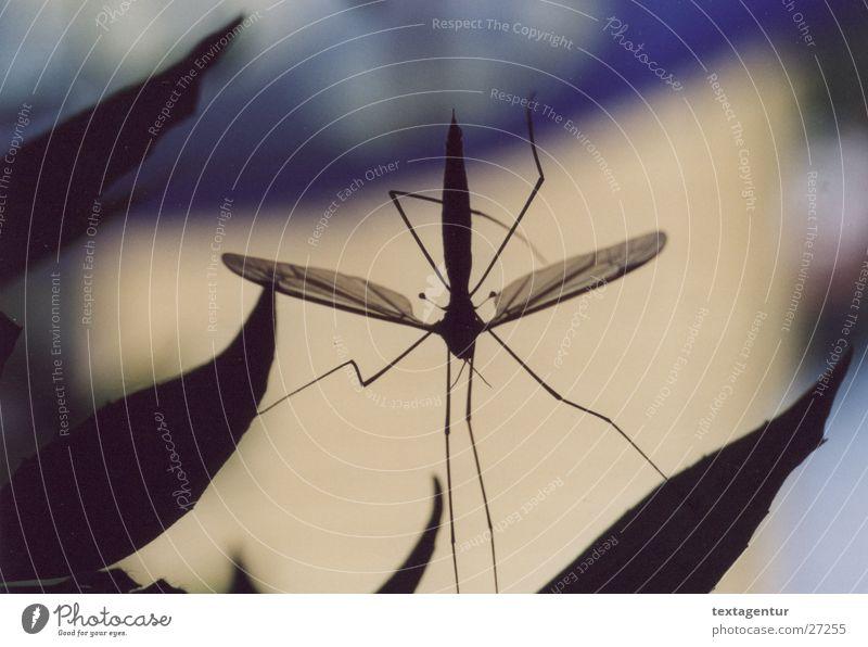 Schnake blau schwarz Garten Verkehr Insekt