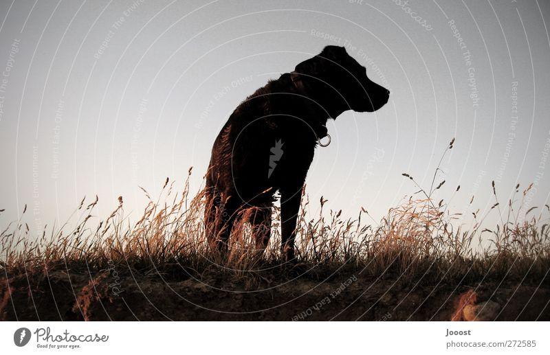 Weitblick Abenteuer Ferne Sommer Natur Landschaft Erde Himmel Wolkenloser Himmel Schönes Wetter Gras Feld Tier Haustier Hund Labrador 1 Denken genießen Blick