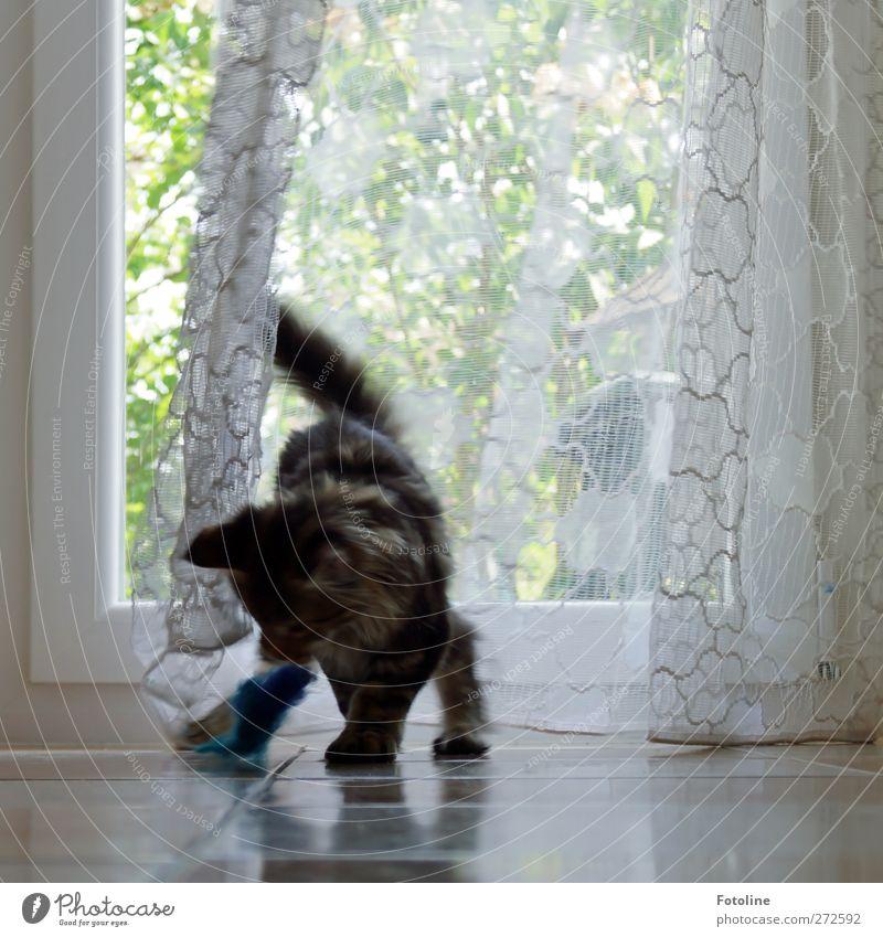 Gestatten: Charlie Tier Haustier Katze Fell 1 Spielen hell Neugier niedlich weich Fenster Gardiene Stoff Pfote Maine Coon Rassekatze Farbfoto Gedeckte Farben
