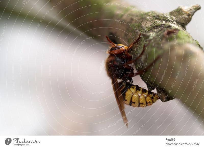Überlebenskampf einer Hornisse Natur Luft Wasser Frühling Ast Seeufer Wildtier 1 Tier Holz Aggression bedrohlich groß natürlich braun gelb grün Mut Tierliebe