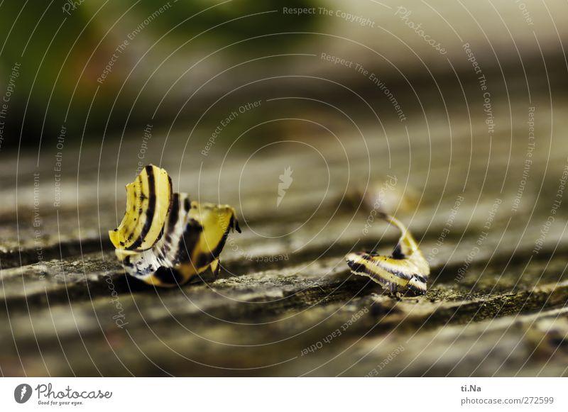 Unbekannt verzogen Umwelt Natur Landschaft Pflanze Tier Wildtier Totes Tier Schnecke liegen kaputt Schneckenhaus Farbfoto Makroaufnahme Menschenleer