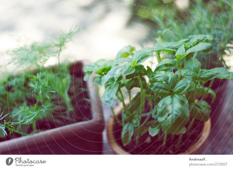 Basilikum Natur grün Pflanze Küche Kräuter & Gewürze Balkon Topfpflanze Küchenkräuter Kräutergarten Balkonpflanze