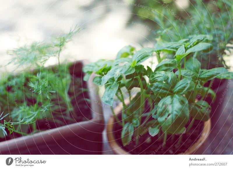Basilikum Natur Pflanze Topfpflanze grün Balkonpflanze Kräuter & Gewürze Kräutergarten dill Küchenkräuter Farbfoto Gedeckte Farben Textfreiraum links Unschärfe