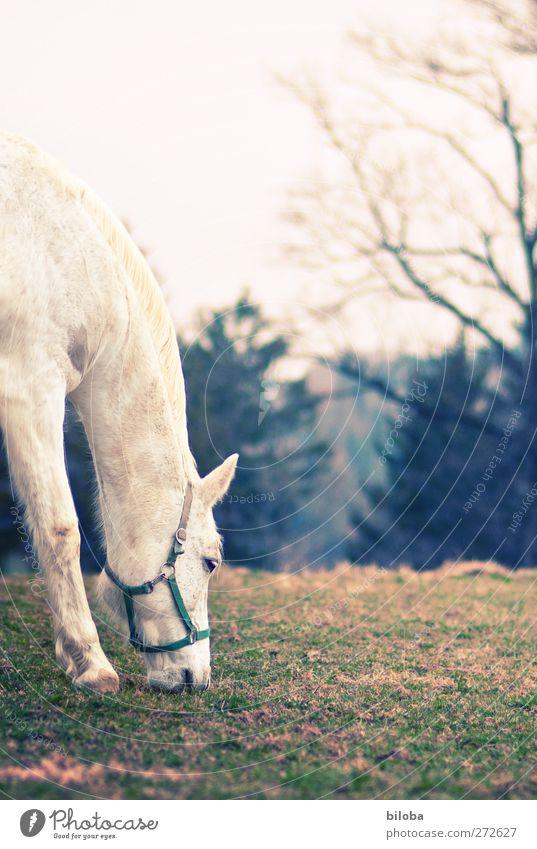 weißer Schimmel grün Tier Landschaft Pferd Fressen
