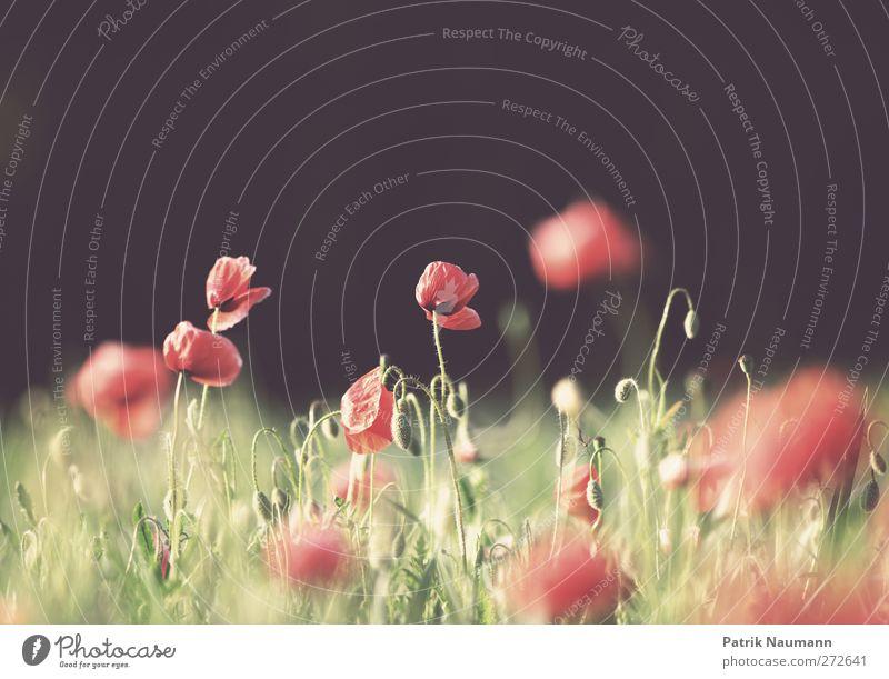 let the Mohn shine Natur grün rot Pflanze Sommer Blume Tier schwarz Umwelt Landschaft Blüte träumen Gesundheit Feld glänzend wild