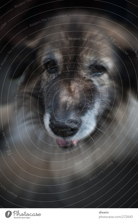 Gustava - 2 Tier Haustier Hund Tiergesicht Fell Hundeschnauze Schäferhund 1 schön kuschlig Freundschaft zutraulich Treue Farbfoto Außenaufnahme Menschenleer