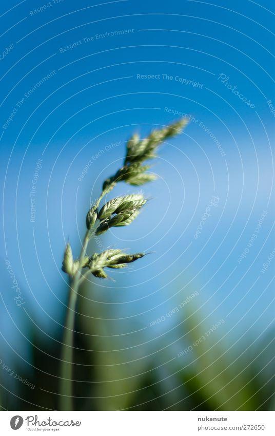 Gras im Wind Himmel Natur blau grün Pflanze Sommer ruhig Wiese Garten Luft Zufriedenheit Kraft Feld elegant Wachstum