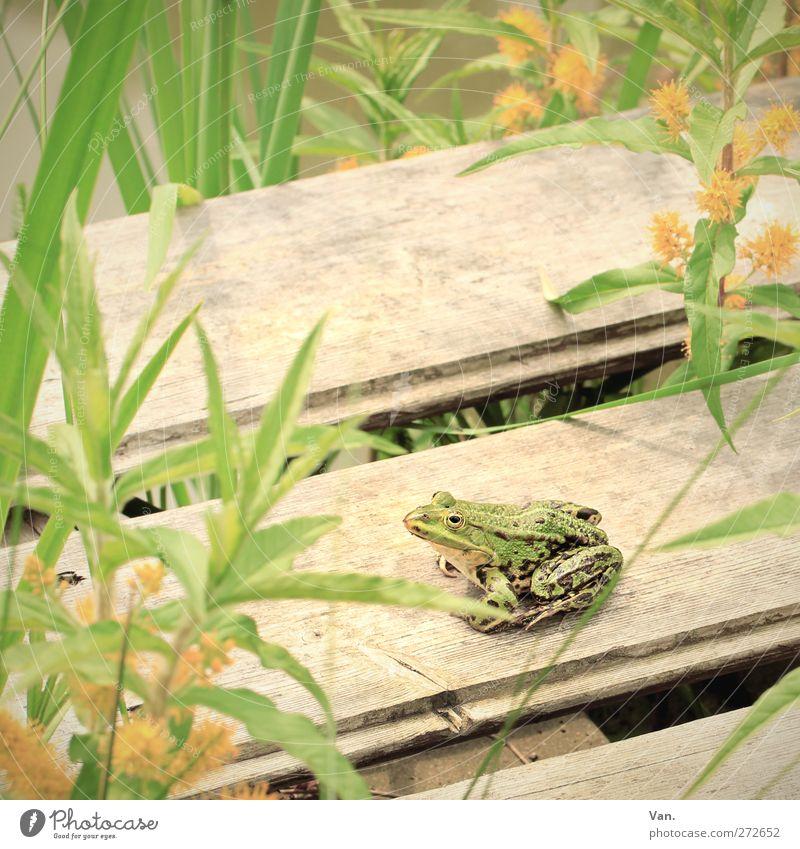 Quak auf Holz Natur Tier Frühling Pflanze Blatt Blüte Grünpflanze Wasserpflanze Teich Steg Wildtier Frosch Amphibie 1 beobachten sitzen gelb grün Farbfoto