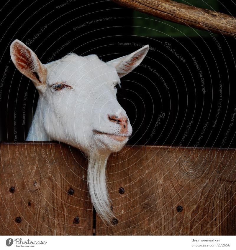 zick nicht so rum ... weiß Tier Denken braun rosa niedlich Neugier Fell Tiergesicht Bart Wissen Weisheit Nutztier Ziegen Mensch Kinnbart