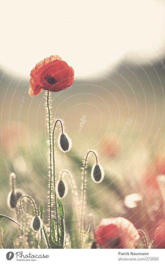 Mohnportrait Natur schön rot Pflanze Sommer Tier ruhig Erholung Umwelt Wärme Blüte gold elegant authentisch Warmherzigkeit einzigartig