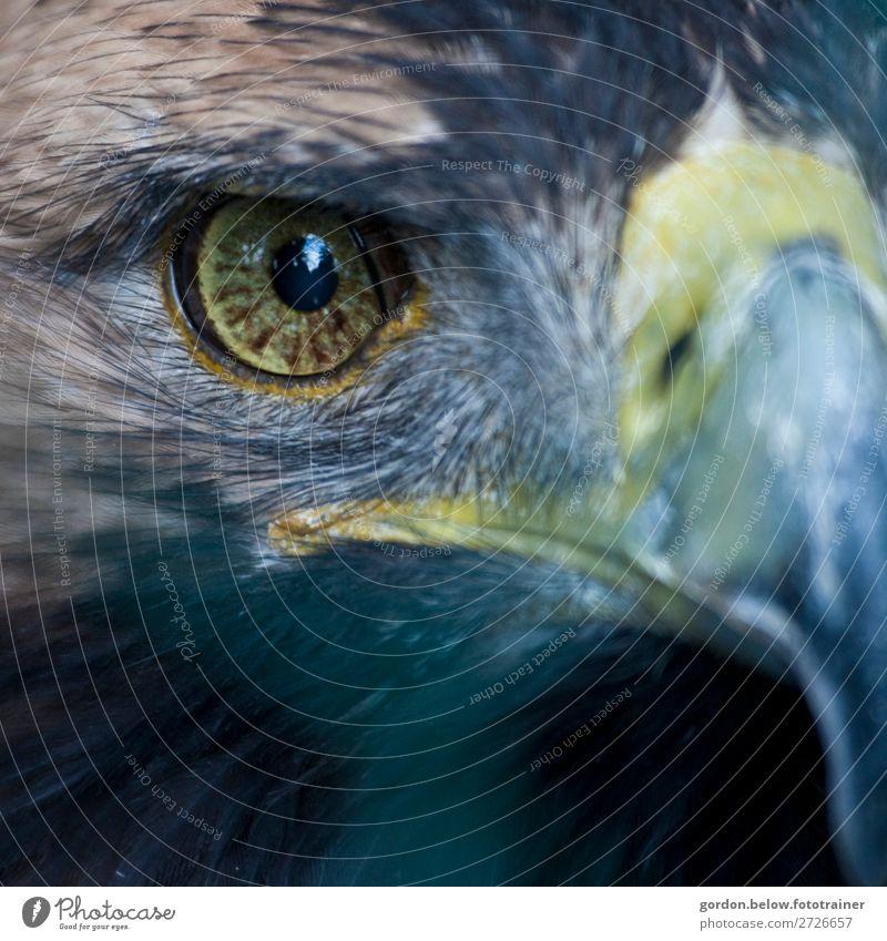 # Sehkraft Natur Tier Wildtier Vogel 1 Blick außergewöhnlich Coolness exotisch gigantisch blau braun gelb schwarz silber türkis Kraft Wachsamkeit Abenteuer