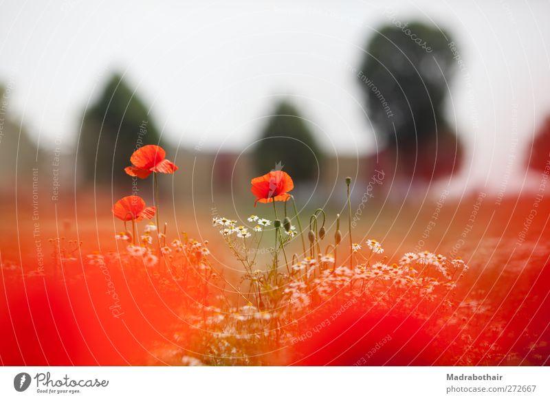 Mohn und Kamille Natur Landschaft Pflanze Himmel Sommer Schönes Wetter Blume Blüte Mohnblüte Kamillenblüten Wiese Feld natürlich schön rot Farbfoto