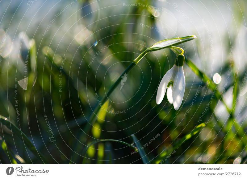 Kleines Schneeglöckchen Natur Pflanze Tier Wassertropfen Frühling Winter Blatt Blüte Wildpflanze Garten Blühend Duft leuchten ästhetisch authentisch frisch