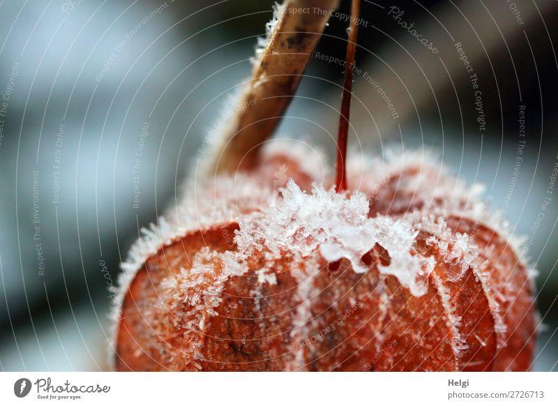 Detailaufnahme einer orangen Lampionblume mit Eiskristallen besetzt Umwelt Natur Pflanze Winter Frost Physalis Stengel Garten frieren hängen außergewöhnlich
