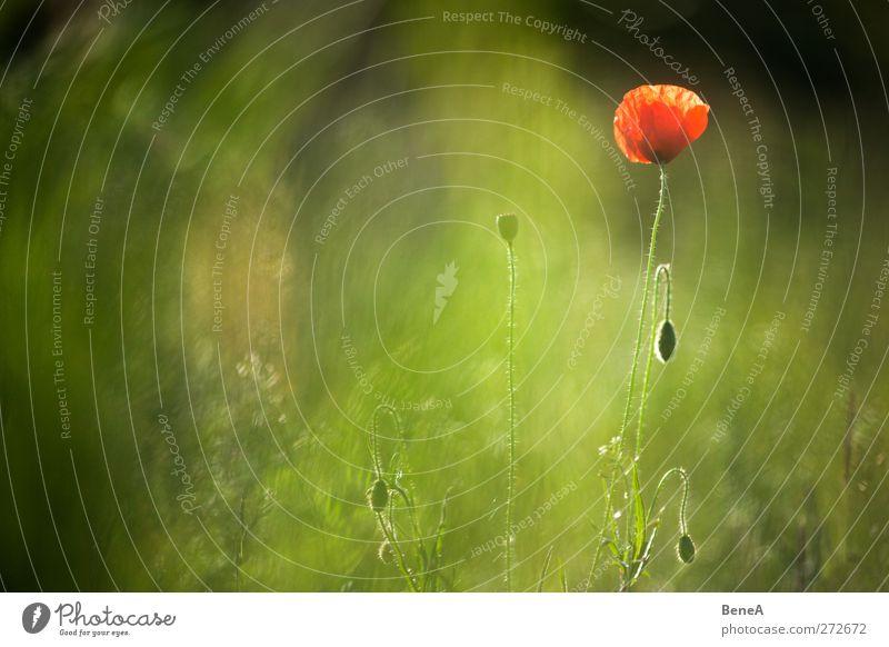 Mohn Natur Pflanze Blume Gras Blüte Nutzpflanze Wildpflanze Mohnblüte Mohnkapsel Stengel Blühend stehen Wachstum schön grün rot Einsamkeit Leben Umwelt Frühling