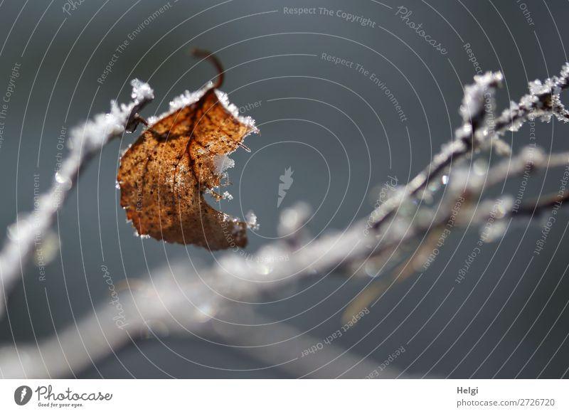 ein verwelktes Blatt an einem Zweig mit Eiskristallen Umwelt Natur Pflanze Winter Frost Sträucher Park festhalten frieren glänzend hängen dehydrieren