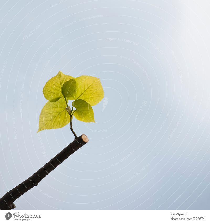 Dann halt so Natur Pflanze Wolkenloser Himmel Frühling Schönes Wetter Baum Blatt Garten Park Wachstum ästhetisch frisch schön grün Lebensfreude Frühlingsgefühle