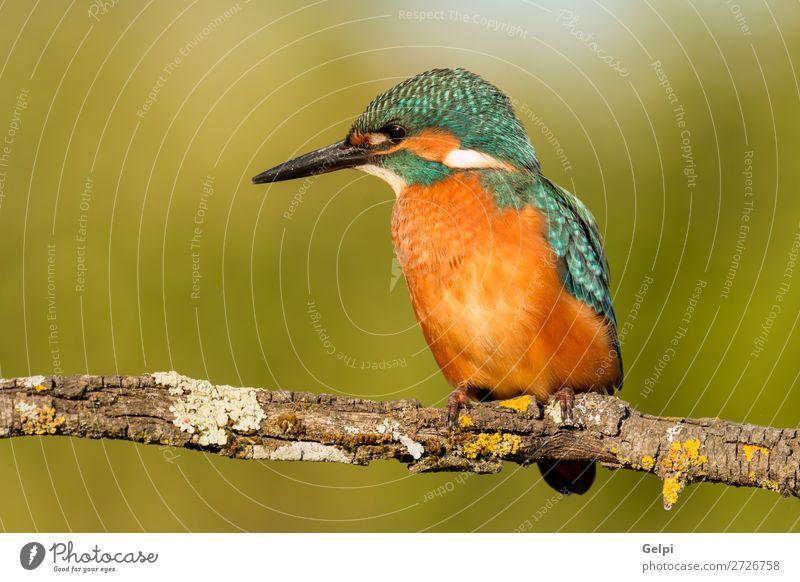 Eisvogel Vogelputz auf einem Ast exotisch Natur Tier Fluss beobachten hell wild blau grün türkis weiß Eisvögel in diesem Fall Tierwelt allgemein Schnabel