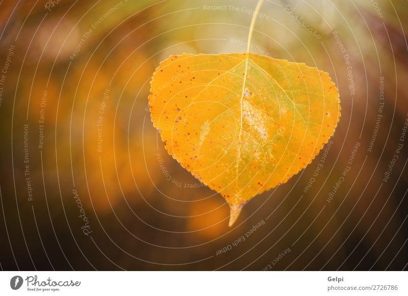 Gelbes Blatt mit dem sonnigen Licht im Herbst schön Umwelt Natur Landschaft Himmel Baum Park Wald Straße Wege & Pfade hell natürlich braun Farbe Jahreszeiten