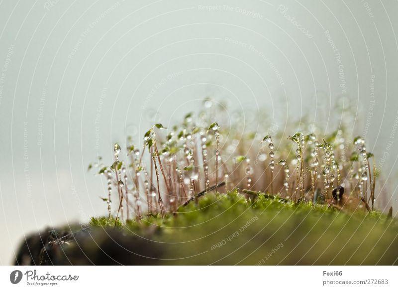 *99* Perlen Natur Pflanze Wasser Wassertropfen Frühling Regen Gras Moos Wildpflanze Flüssigkeit frisch glänzend nass natürlich gelb grün weiß Erholung ruhig