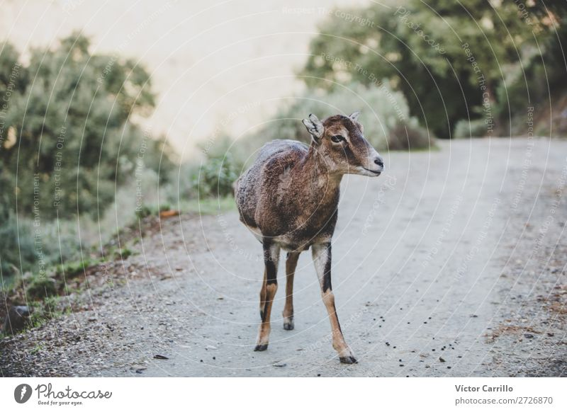 Eine wilde freie Ziege Umwelt Natur Landschaft Klima Tier Wildtier 1 Neugier Abenteuer Farbfoto Außenaufnahme Menschenleer Morgen Tag
