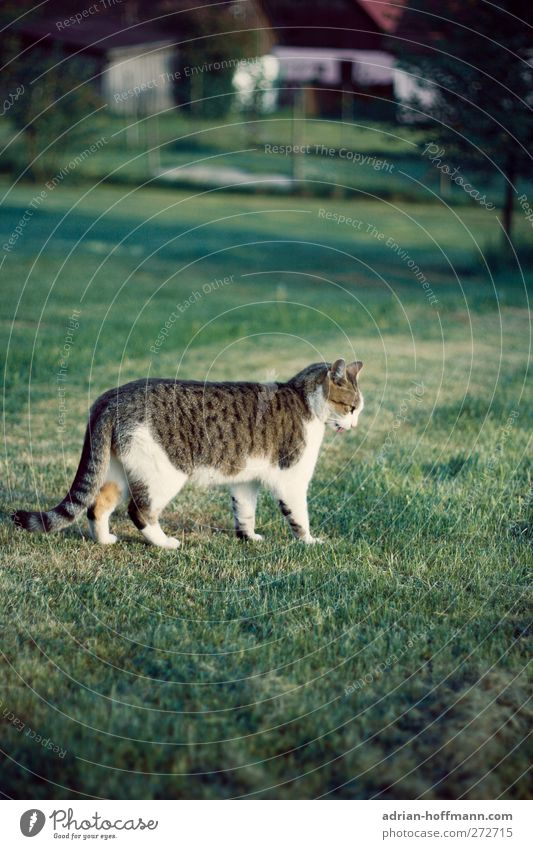 Dorfkater Natur Tier Gras Garten Wiese Haustier Katze 1 Blick Glück Farbfoto Außenaufnahme Tag Tierporträt Profil Wegsehen