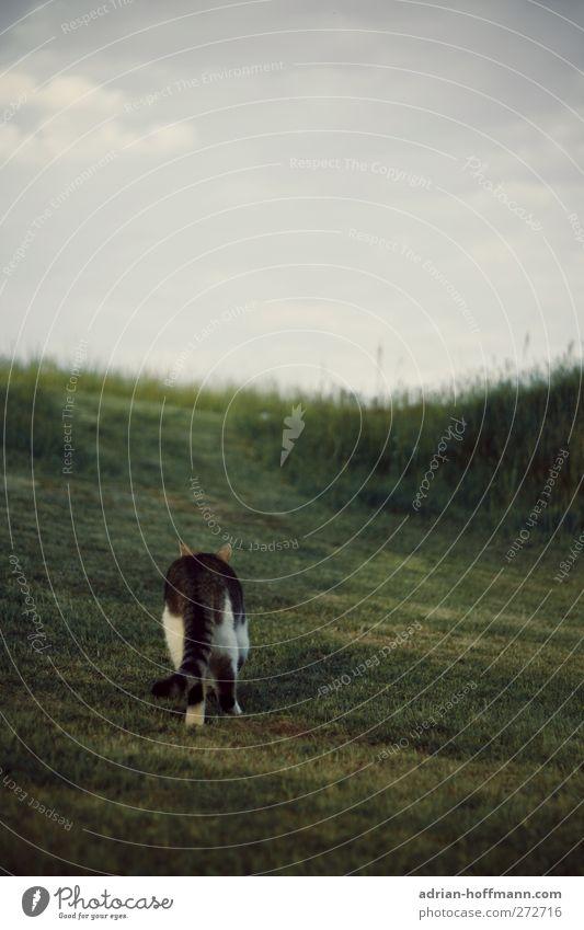 Ich geh' meinen eigenen Weg… Natur Tier Gras Garten Wiese Haustier Katze 1 Neugier Farbfoto Außenaufnahme Textfreiraum oben Tag Tierporträt Rückansicht