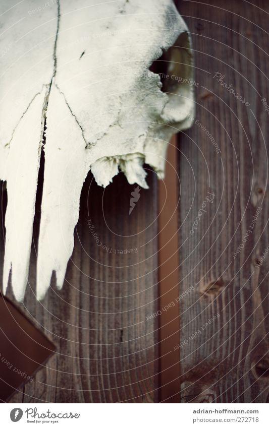 Schädel Garten Dekoration & Verzierung Dorf Totes Tier Kuh 1 authentisch gruselig natürlich Tod Farbfoto Außenaufnahme Textfreiraum unten