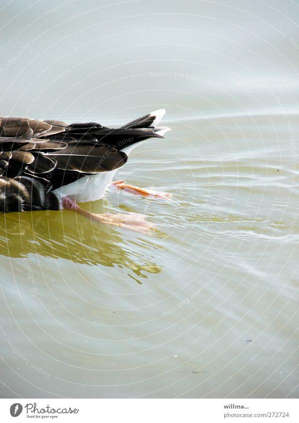 Halbe Ente Wasser Teich See Wildtier Stockente Feder Tierfuß Füße hoch 1 Schwimmen & Baden grau Bewegung Hälfte Schwanz zurück entkommen willma... Farbfoto