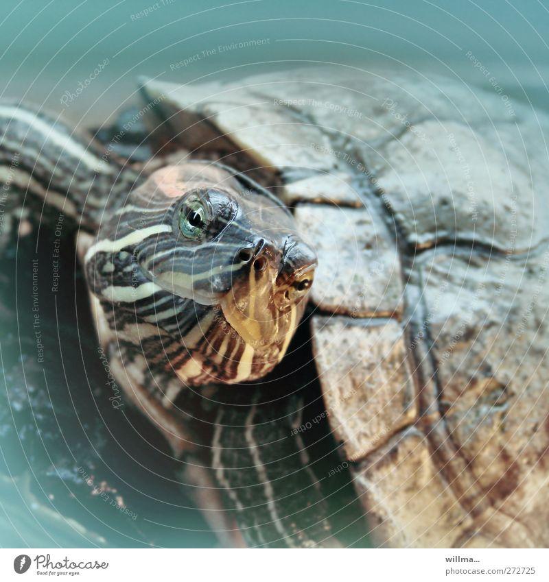 wasserschildkröte Wasser Schildkröte Schildkrötenpanzer Kopf 1 Tier beobachten Schwimmen & Baden tauchen willma... Farbfoto Unterwasseraufnahme Menschenleer