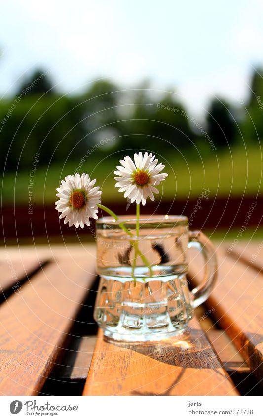 blümchen Alkohol Spirituosen Pflanze Blume Blüte schön Gelassenheit ruhig Natur Schnapsglas Gänseblümchen Tisch Farbfoto Außenaufnahme Nahaufnahme Menschenleer