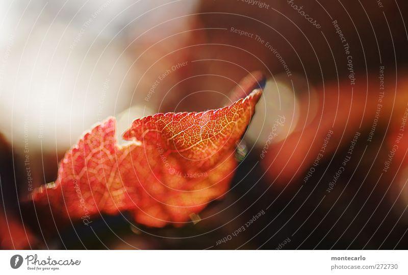 Red Umwelt Natur Pflanze Frühling Schönes Wetter Blatt ästhetisch dünn authentisch einfach frisch nah schön Spitze Wärme weich rot schwarz weiß Farbfoto
