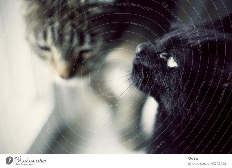 Katzentreff Tier Haustier 2 Tierpaar beobachten Blick träumen grau schwarz Interesse Ferne Farbfoto Innenaufnahme Tag Unschärfe Schwache Tiefenschärfe