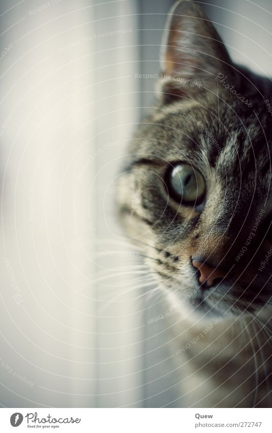 Was guckst du?! Tier Haustier Katze Tiergesicht 1 beobachten Blick Neugier niedlich grau Interesse Gelassenheit Katzenauge Katzenkopf Schnurrhaar Farbfoto