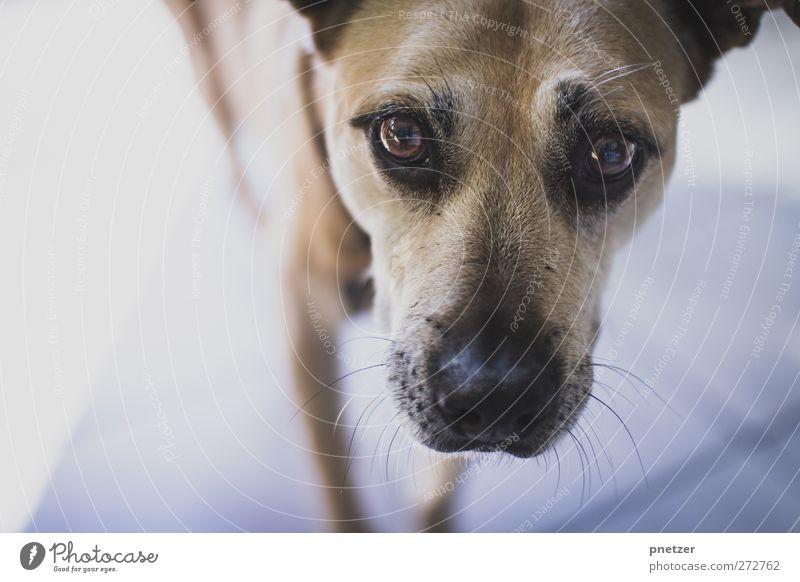 Uh? Tier Haustier 1 Tierjunges Blick Gefühle Freude Freundschaft Treue Auge Schnauze Fell beige braun Mischling Labrador Farbfoto Gedeckte Farben Innenaufnahme
