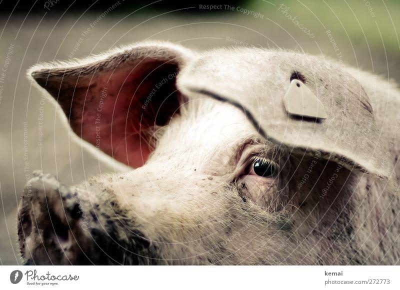 Steckdose Tier Auge dreckig Ohr Landwirtschaft Tiergesicht Wachsamkeit Schwein Schnauze Nutztier Vieh Hausschwein