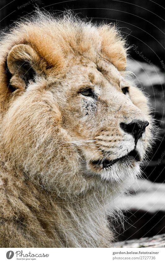 Lion Wildtier Löwe 1 Tier beobachten elegant Erfolg fantastisch groß blau braun gold grau schwarz weiß Ehre Tapferkeit selbstbewußt Ausdauer Stolz Abenteuer