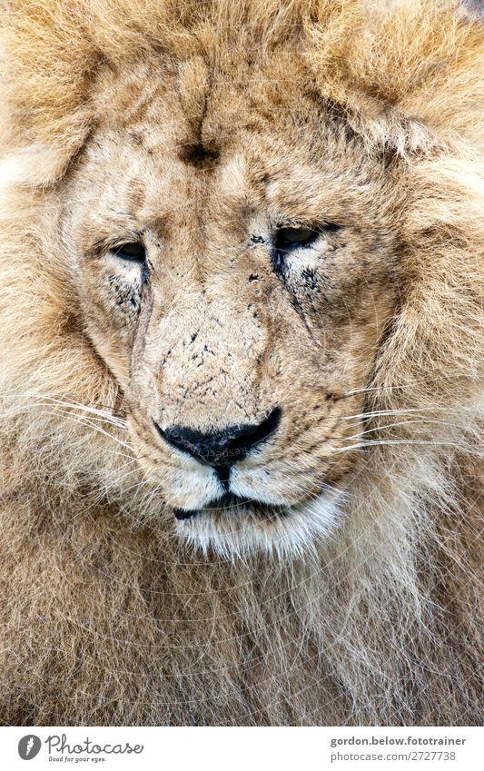 # König der Savanne Natur Tier Wildtier Löwe 1 beobachten genießen hören groß muskulös blau braun gold grau schwarz silber weiß Zufriedenheit Tapferkeit