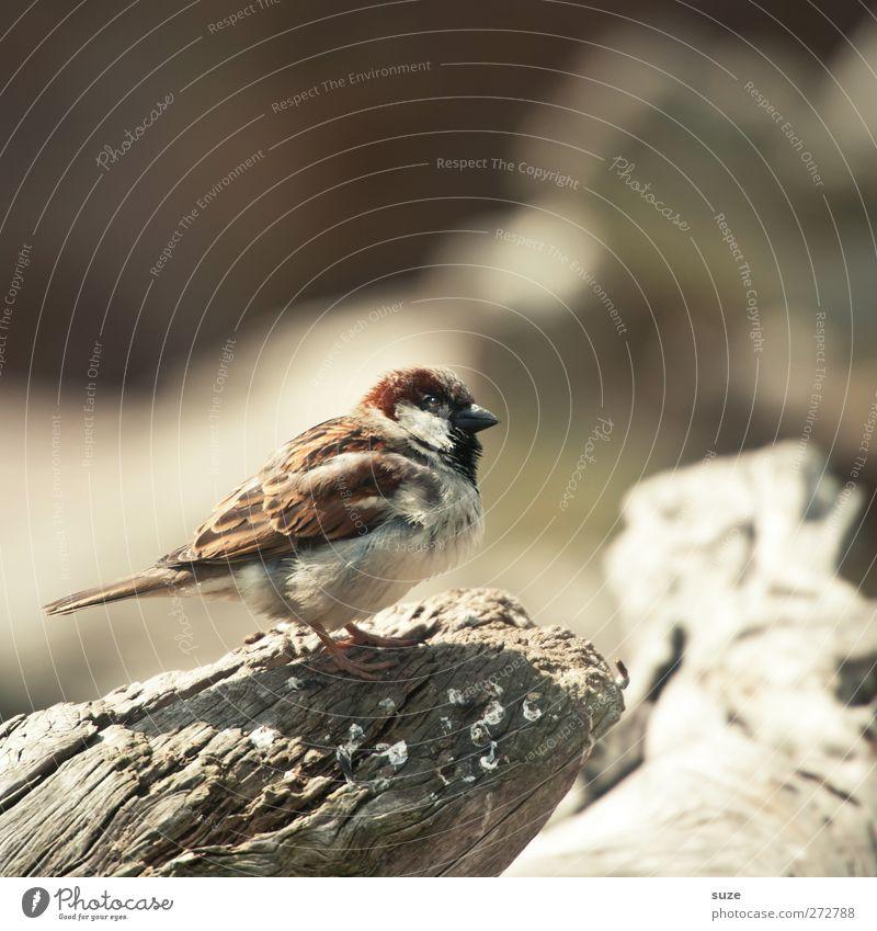 Dreckspatz Umwelt Natur Tier Urelemente Sommer Wildtier Vogel 1 Holz warten klein natürlich niedlich weich braun Spatz Feder Flaum singen Gezwitscher Schnabel