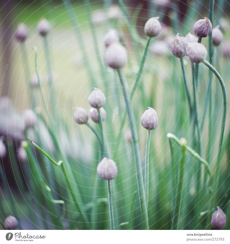 ooOo Kräuter & Gewürze Schnittlauch Zwiebel Natur Pflanze Grünpflanze Garten natürlich grün violett Farbfoto Gedeckte Farben Außenaufnahme Nahaufnahme
