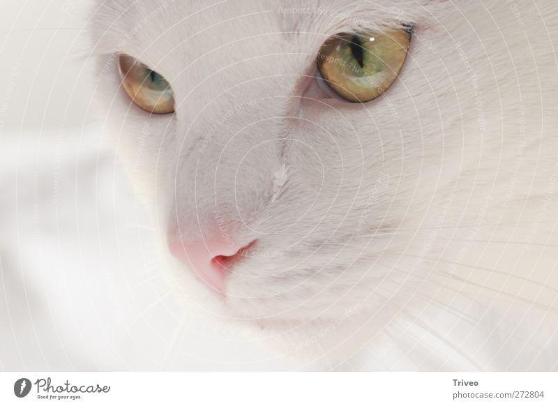 Beautiful Tier Haustier Katze Tiergesicht 1 Gefühle Vertrauen Sicherheit loyal Warmherzigkeit Sympathie Freundschaft Tierliebe schön friedlich Wachsamkeit