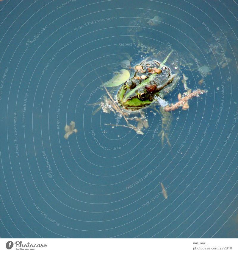 verd(r)eckter ermittler Umwelt Tier Wasser Teich See Frosch Wasserfrosch 1 Schwimmen & Baden blau grün Umweltverschmutzung Quadrat Kieselsteine Gewicht belasten