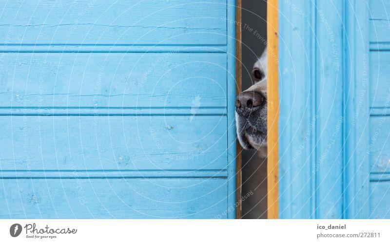 mal neugierig raus schnüffeln Hund blau Freude Tier Einsamkeit schwarz gelb Gefühle träumen Fassade elegant Beginn gefährlich Nase Perspektive Lifestyle