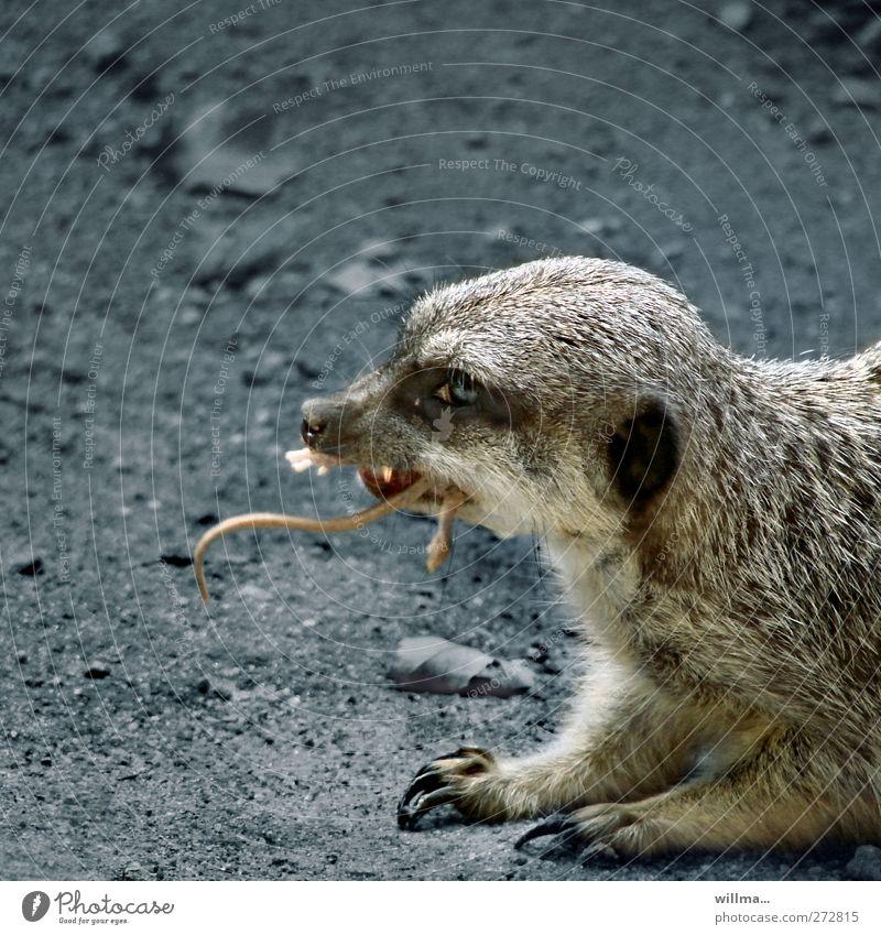 fressen und gefressen werden | erdmännchen Tier dunkel grau braun Wildtier Tiergesicht Appetit & Hunger Zoo Wachsamkeit Fressen Überleben Krallen Beute Katze
