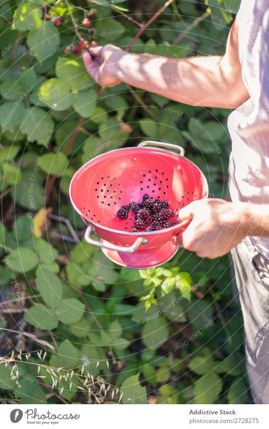 Mann sammelt Beeren Garten Ernte Sommer Sträucher Saison frisch