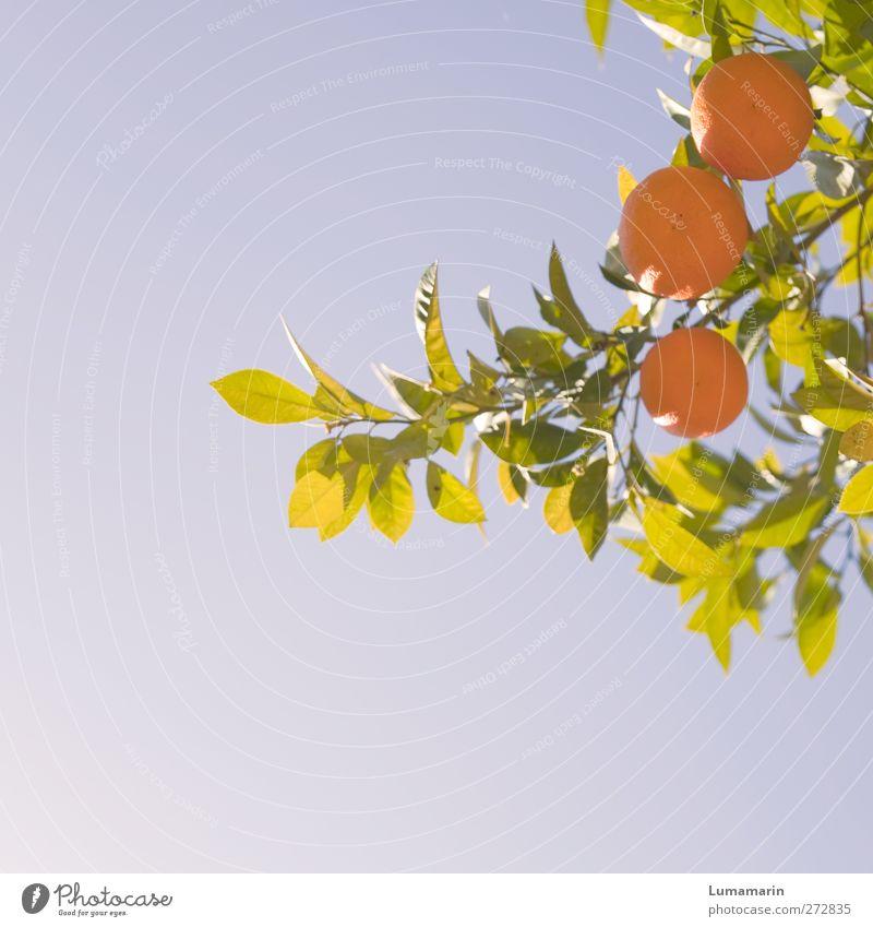 haute cuisine Frucht Orange Ernährung Bioprodukte Gesundheit Gesunde Ernährung Ferien & Urlaub & Reisen Umwelt Natur Pflanze Wolkenloser Himmel Sommer